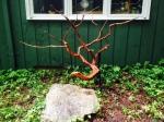 Tribute to a Cedar, cedar wood [Aug 2014]